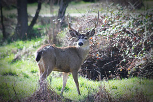 Buck in Ashland Nature Park